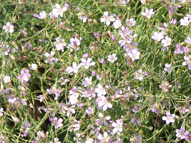 Gypsophila-repens